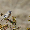 Cometocino de Gay |  Phrygilus gayi  |  Gray-hooded Sierra Finch