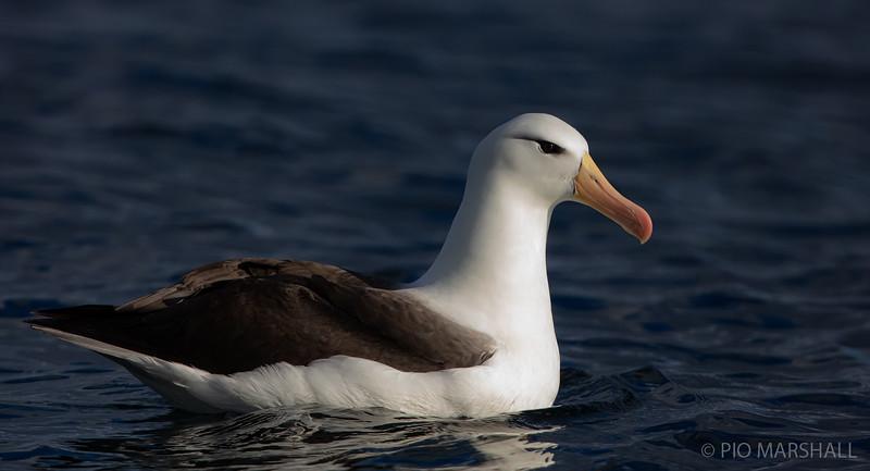 Albatros de ceja negra  |  Thalassarche melanophris melanophris  |  Black-browed Albatross