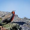 Loica común    Leistes loyca     Long-tailed Meadowlark