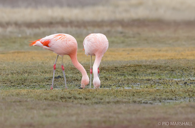 Flamenco chileno |  Phoenicopterus chilensis  |  Chilean Flamingo