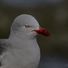 Gaviota austral |  Leucophaeus scoresbii  |  Dolphin Gull