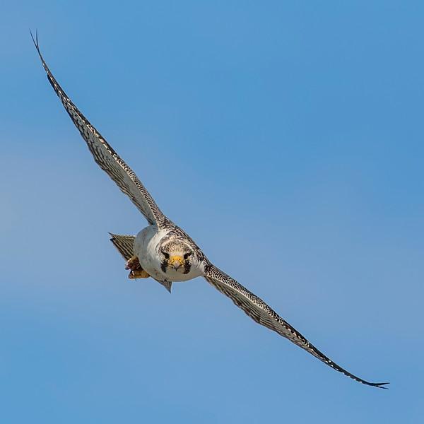Halcón peregrino   Falco peregrinus   Peregrine Falcon