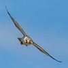 Halcón peregrino | Falco peregrinus | Peregrine Falcon