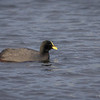 Tagua común |  Fulica armillata  |  Red-gartered Coot