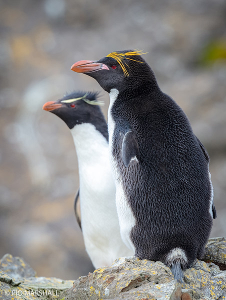 Pingüino macaroni    Eudyptes chrysolophus     Macaroni Penguin