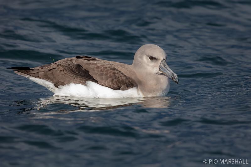 Albatros de cabeza gris |  Thalassarche chrysostoma  |  Gray-headed Albatross