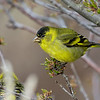 Jilguero austral |  Spinus barbatus  |  Black-chinned Siskin