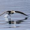 Petrel gigante antártico |  Macronectes giganteus  |  Southern Giant-Petrel