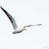 Gaviota dominicana |  Larus dominicanus  |  Kelp Gull