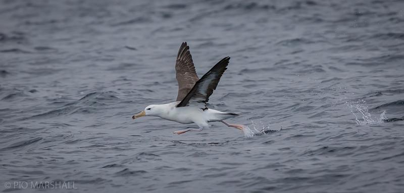Albatros de ceja negra     Thalassarche melanophris melanophris     Black-browed Albatross