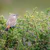 Patagón |  Ochetorhynchus phoenicurus  |  Band-tailed Earthcreeper