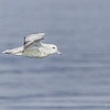 Petrel plateado austral |  Fulmarus glacialoides  |  Southern Fulmar