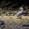 Quetru no volador    Tachyeres pteneres     Flightless Steamer-Duck