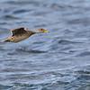 Pato jergón grande |  Anas georgica  |  Yellow-billed Pintail