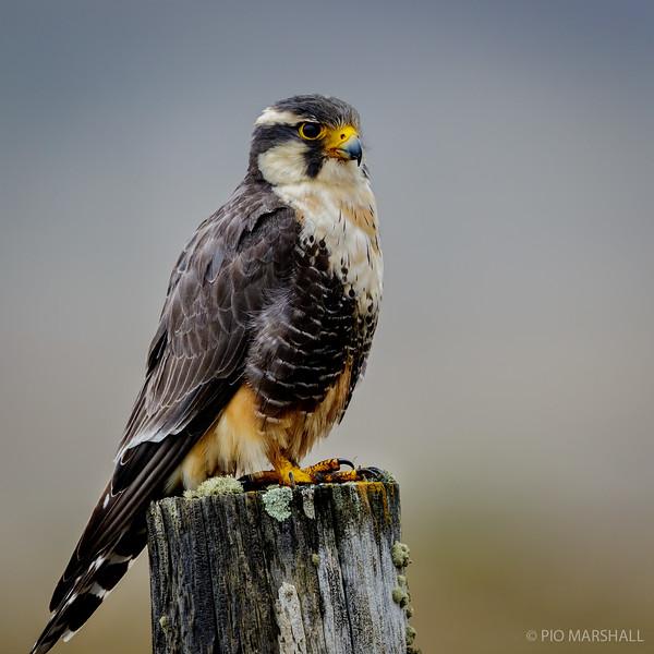 Halcón perdiguero    Falco femoralis     Aplomado Falcon