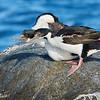 Cormorán imperial |  Phalacrocorax atriceps  |  Imperial Cormorant