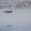 Golondrina bermeja |  Hirundo rustica  |  Barn Swallow