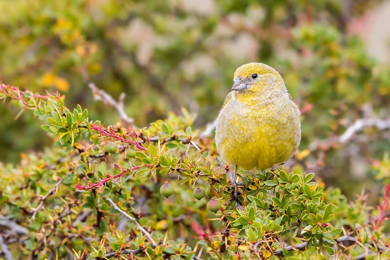 Chirihue austral | Sicalis lebruni | Patagonian Yellow-Finch