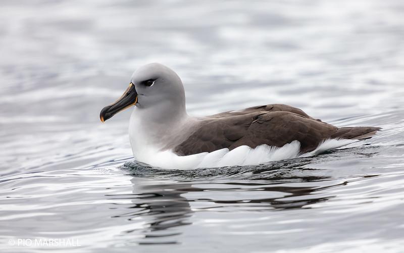 Albatros de cabeza gris    Thalassarche chrysostoma     Gray-headed Albatross