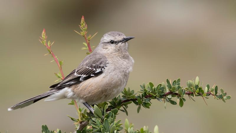 Tenca patagónica   Mimus patagonicus   Patagonian Mockingbird