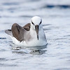 Albatros de cabeza gris |  Thalassarche chrysostoma  |  Gray-headed Albatross