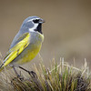 Yal austral |  Melanodera melanodera  |  White-bridled Finch