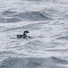 Yunco de Magallanes |  Pelecanoides magellani  |  Magellanic Diving-Petrel