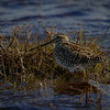 Becacina común |  Gallinago paraguaiae  |  South American Snipe