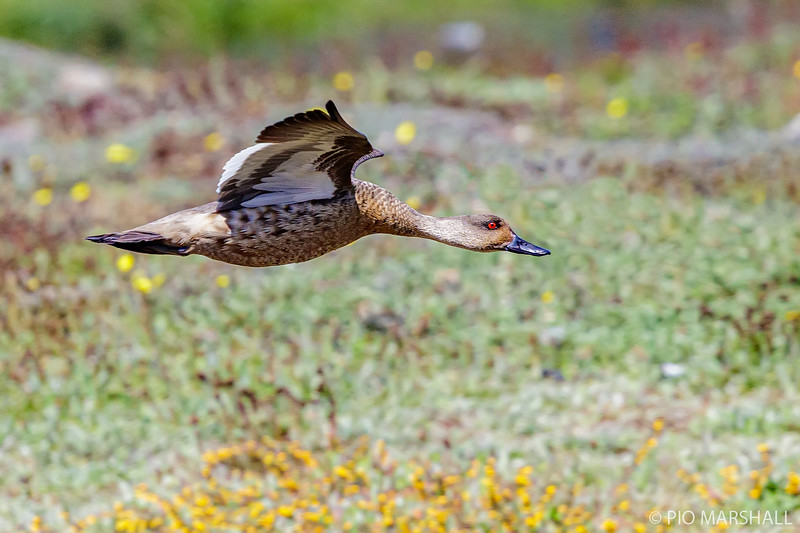 Pato juarjual    Lophonetta specularioides     Crested Duck