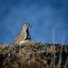 Perdicita chica |  Thinocorus rumicivorus  |  Least Seedsnipe