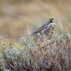 Yal cordillerano | Melanodera xanthogramma | Yellow-bridled Finch