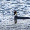 Pingüino rey |  Aptenodytes patagonicus  |  King Penguin