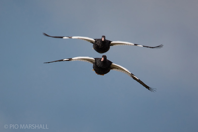 Caranca    Chloephaga hybrida     Kelp Goose