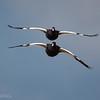 Caranca |  Chloephaga hybrida  |  Kelp Goose