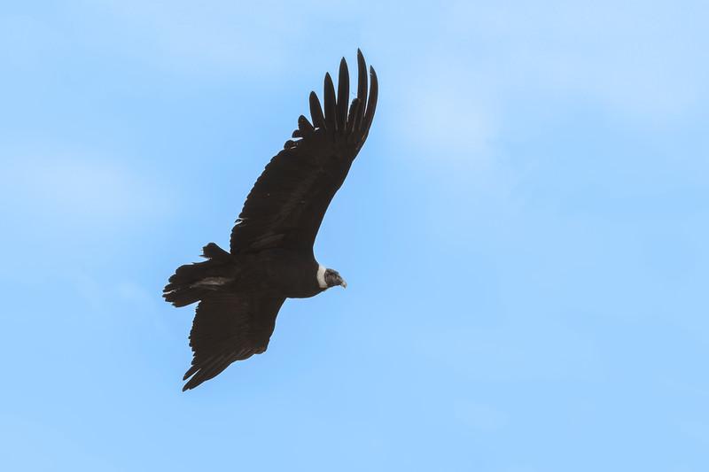 Cóndor   Vultur gryphus   Andean Condor