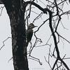 Carpinterito | Dryobates lignarius | Striped Woodpecker