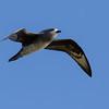 Petrel de Kermadec | Pterodroma neglecta | Kermadec Petrel