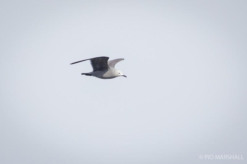 Gaviota garuma   Leucophaeus modestus   Gray Gull