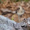Zarapito polinésico | Numenius tahitiensis | Bristle-thighed curlew