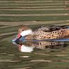 Pato gargantillo |  Anas bahamensis  |  White-cheeked Pintail