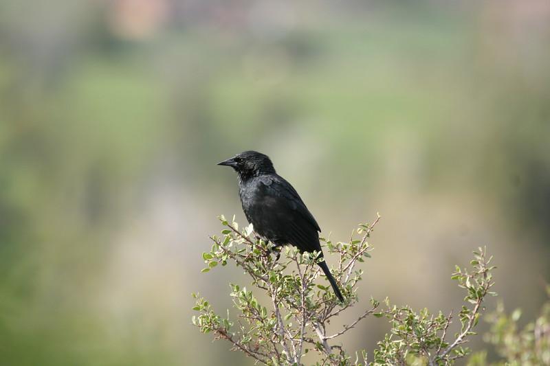 Tordo   Curaeus curaeus   Austral Blackbird