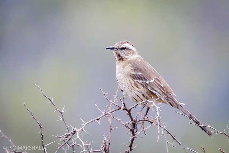 Tenca chilena    Mimus thenca     Chilean Mockingbird