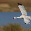 Cisne coscoroba | Coscoroba coscoroba | Coscoroba Swan
