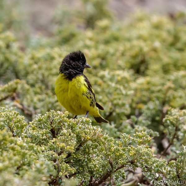 Jilguero cordillerano    Spinus uropygialis     Yellow-rumped Siskin