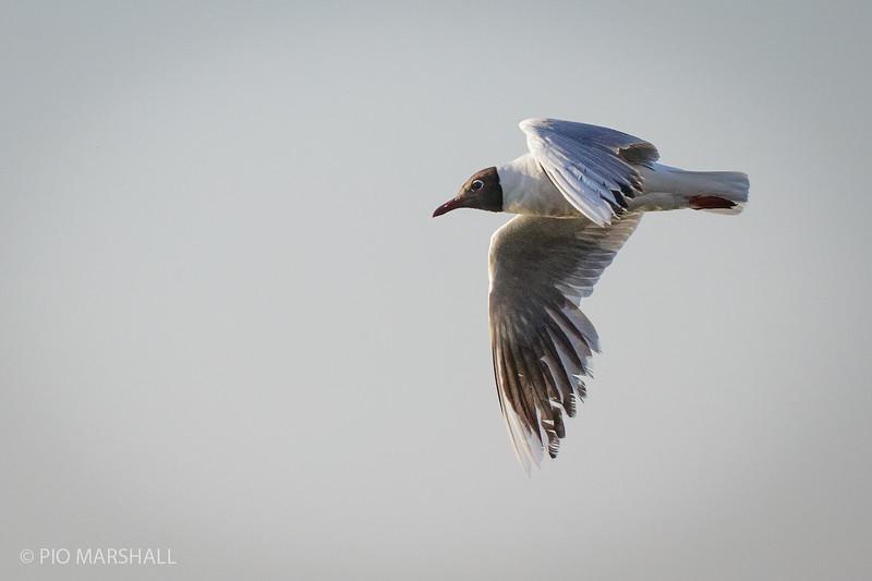Gaviota cáhuil |  Chroicocephalus maculipennis  |  Brown-hooded Gull