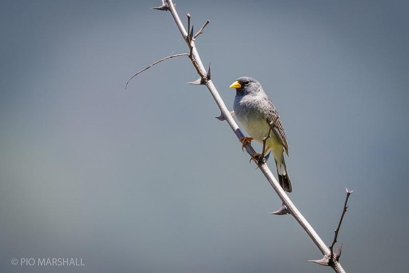 Platero    Porphyrospiza alaudina     Band-tailed Sierra Finch