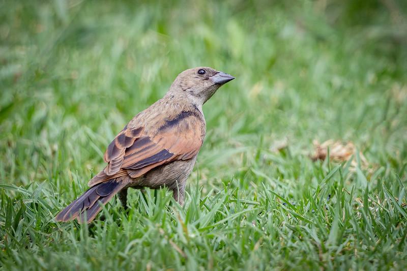 Mirlo de pico corto    Molothrus rufoaxillaris     Screaming Cowbird