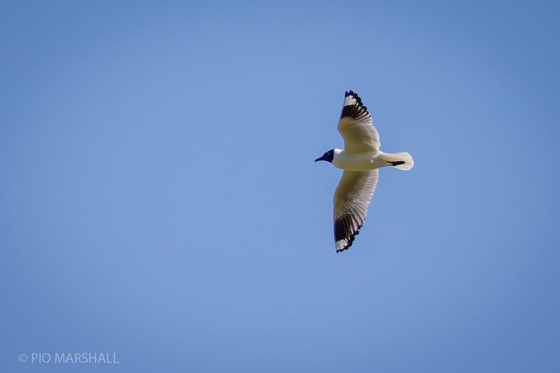 Gaviota andina    Chroicocephalus serranus     Andean Gull