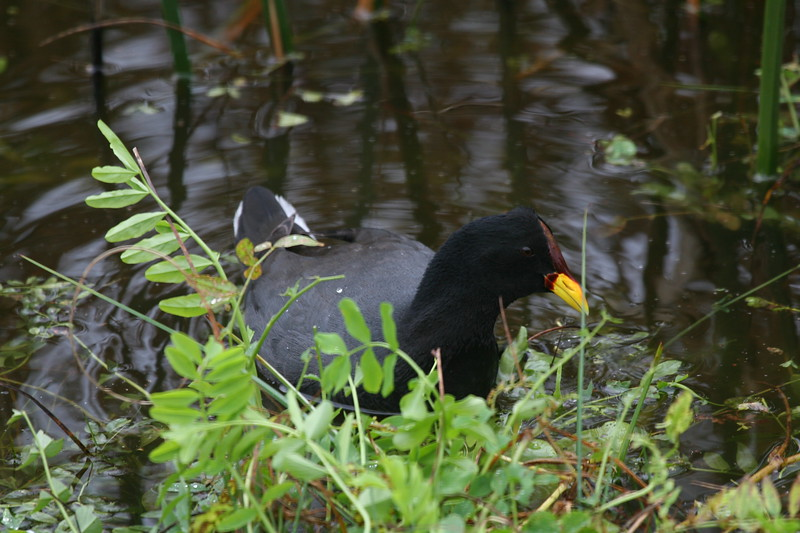 Tagua de frente roja   Fulica rufifrons   Red-fronted Coot