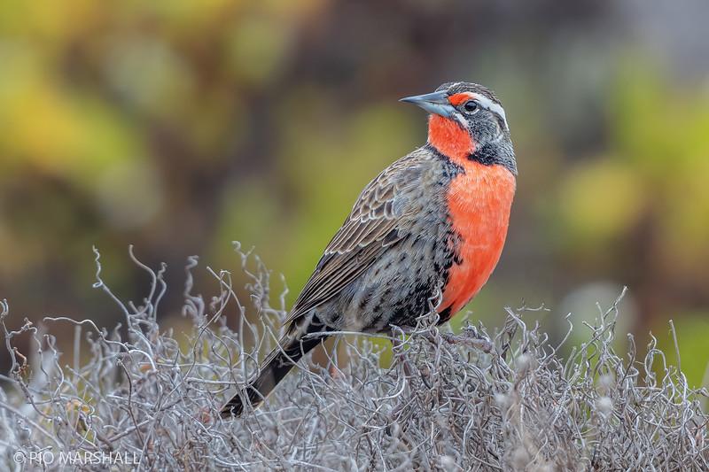 Loica común |  Leistes loyca  |  Long-tailed Meadowlark